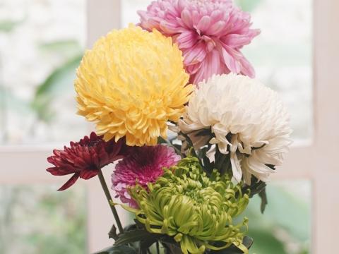 The benefits from Chrysanthemum flowers